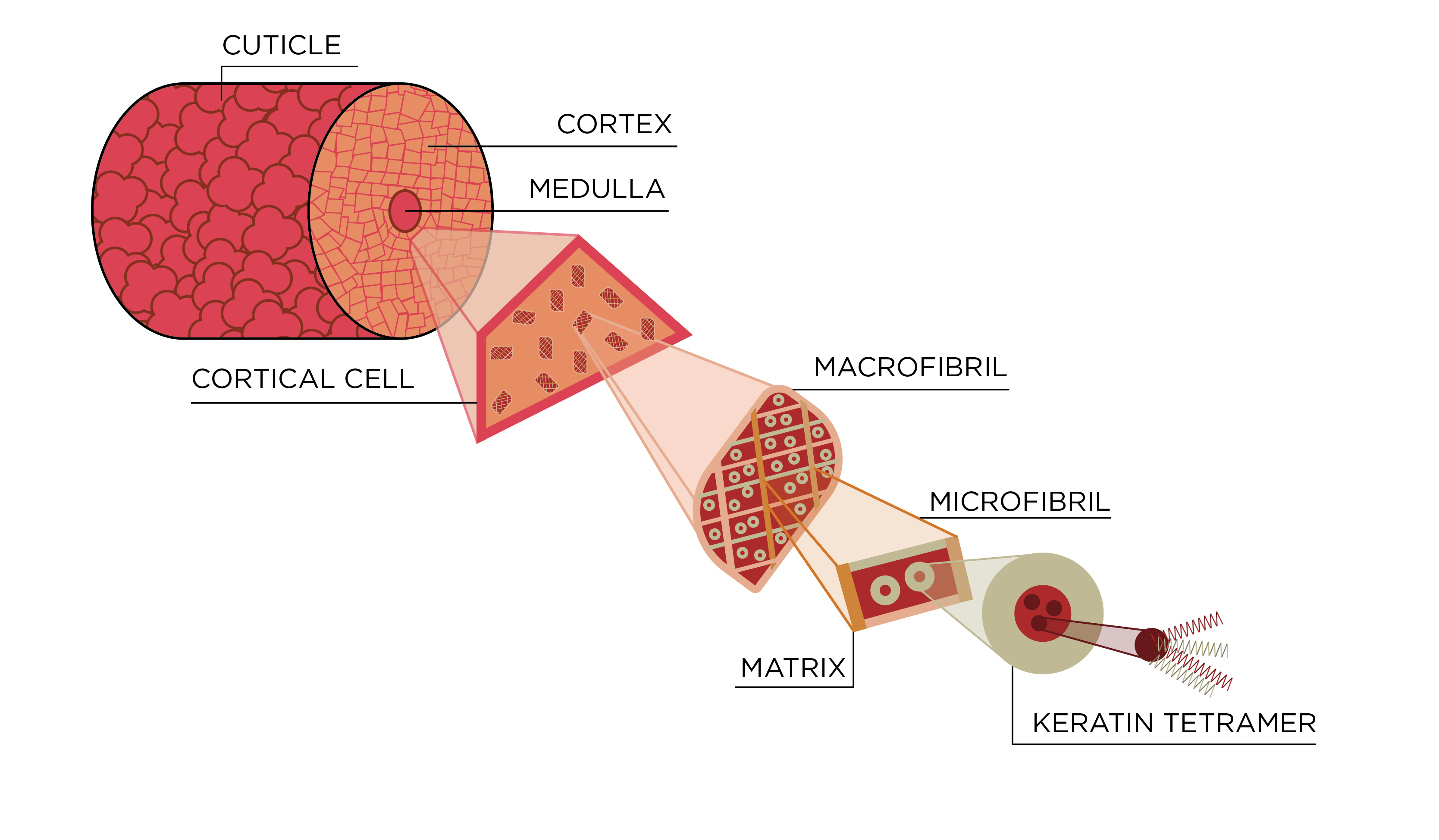 A cross section of a hair showing how it is composed of keratin fibers that are braided together to form larger fibers.