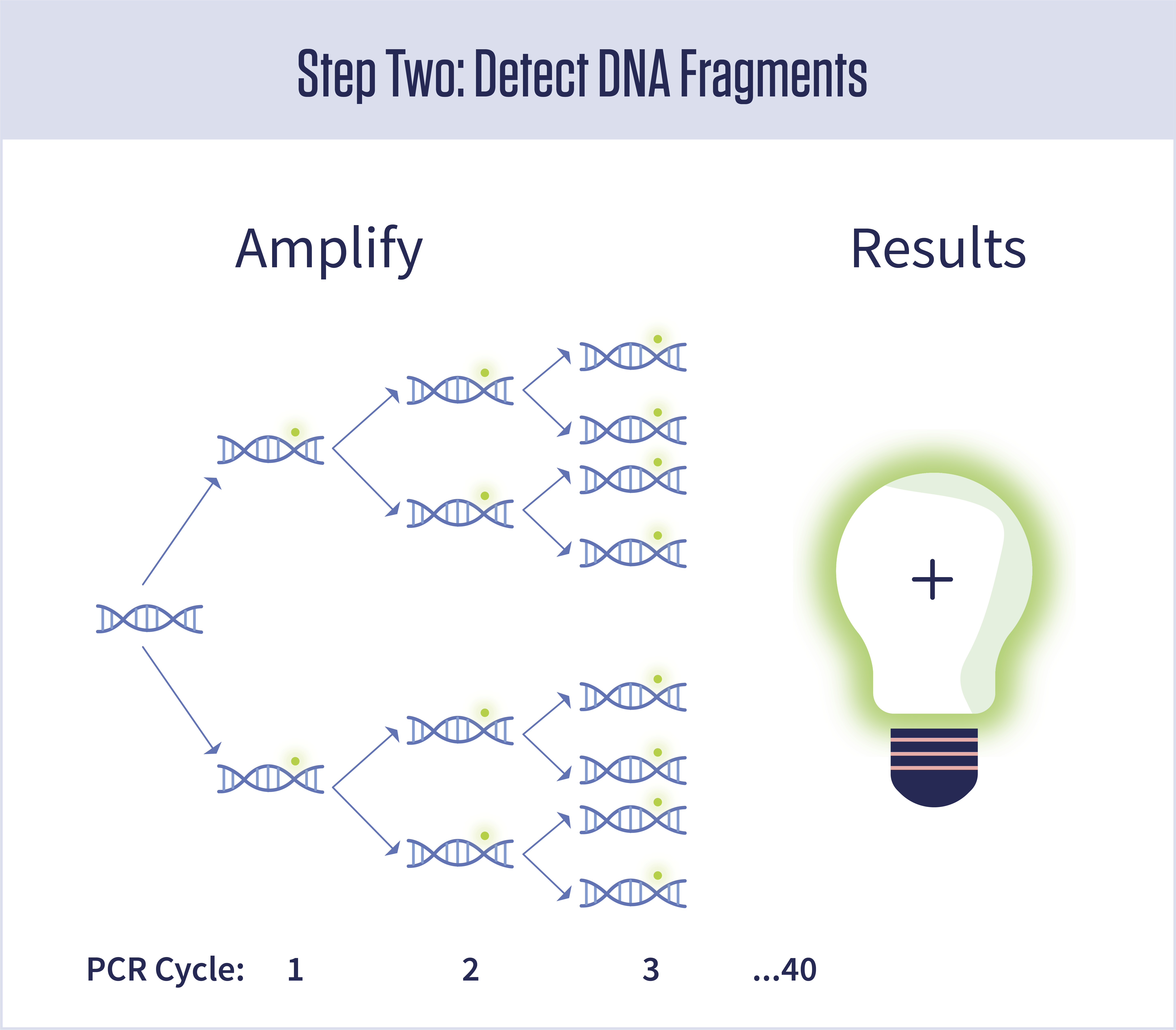A diagram showing that amplification doubles the amount of DNA present during each of 40 cycles. A glowing light bulb with a plus sign on it represents a positive test result.