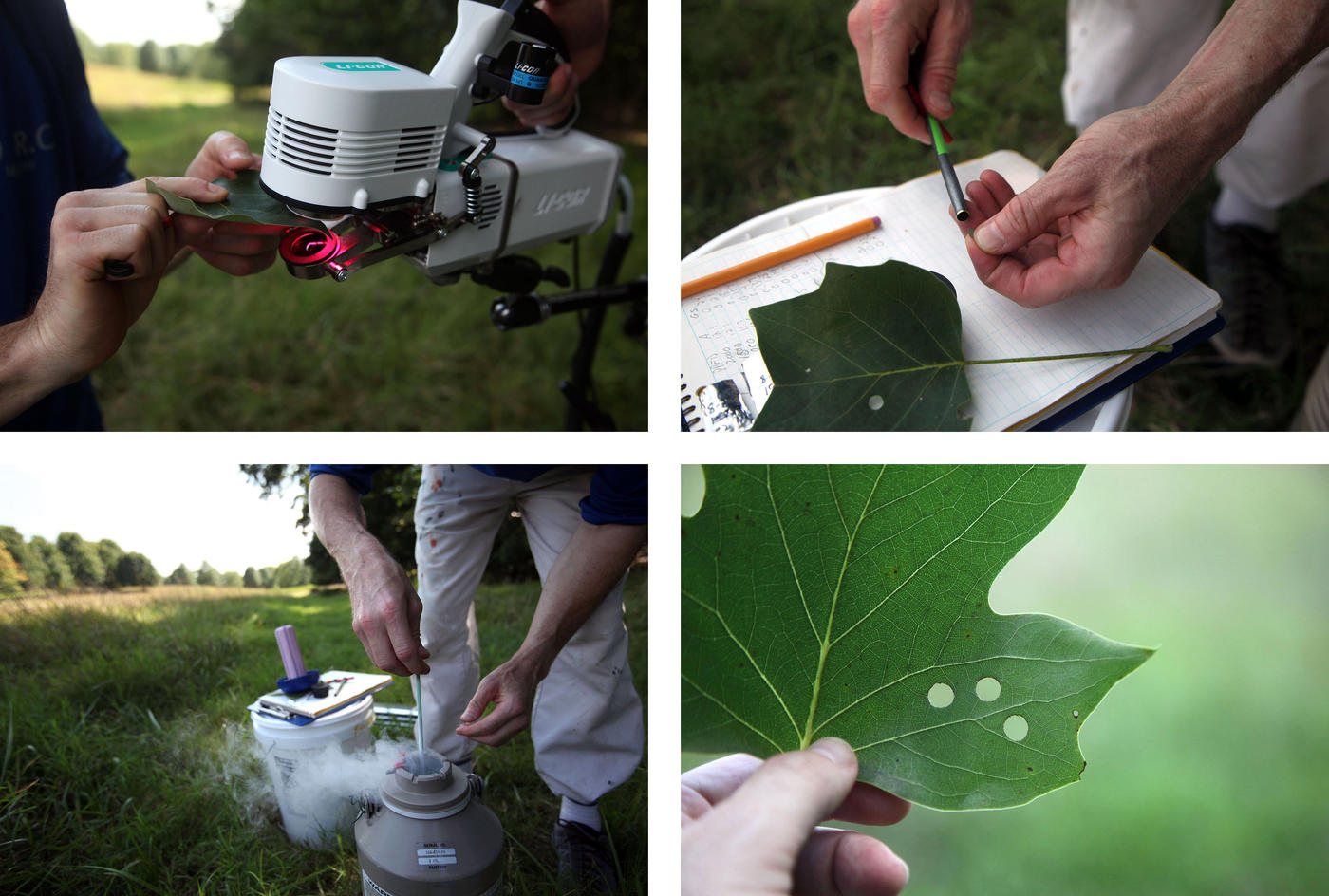 A composite of four close up images of scientists taking measurements and tissue samples from leaves