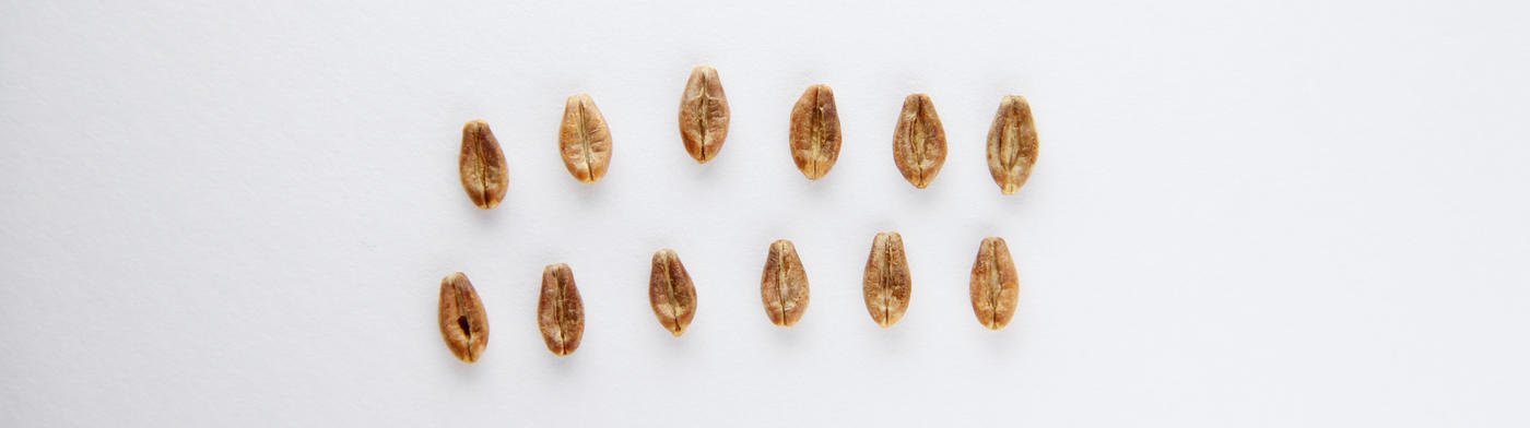 Two rows of barleycorn with 6 on each row. White background.