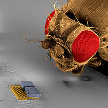 A microrobot used at the RoboCup 2009 nanosoccer competition by the team from Switzerland's ETH Zurich is compared in size to the head of a fruit fly. The robot, which is operated under a microscope, is 300 micrometers in length.