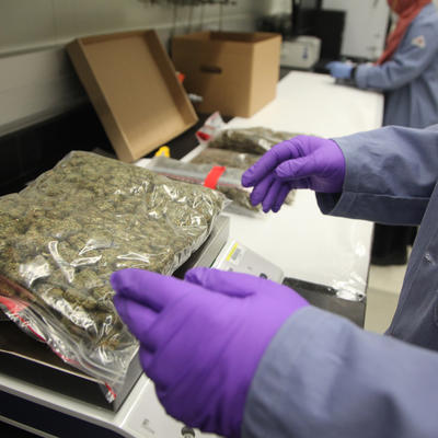 A scientist in lab coat and rubber gloves places a large clear bag of marijuana on a weighing scale.