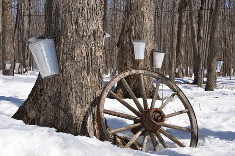 maple trees with sap collectors