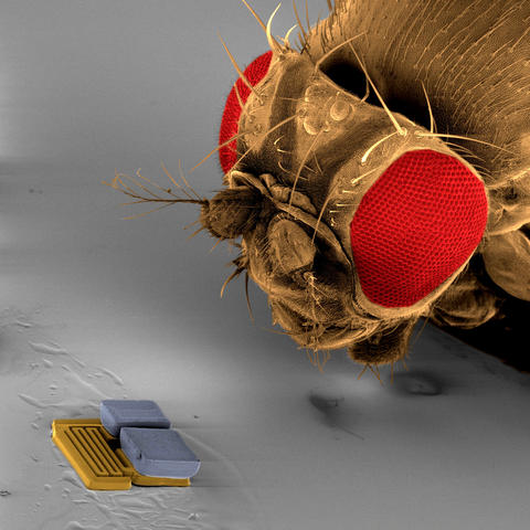 A microrobot used at the RoboCup 2009 nanosoccer competition by the team from Switzerland's ETH Zurich is compared in size to the head of a fruit fly.