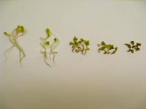 Graphic of 5 radish plants showing effects of increasing exposure to BPs and NPs