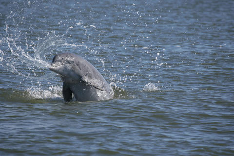 Bottlenose dolphin splashing
