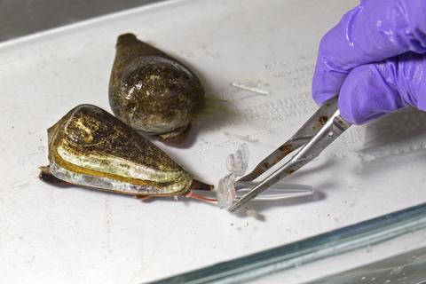 cone snail depositing venom into tube