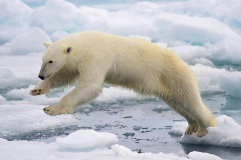 A large polar bear is jumping from one block of ice to another.
