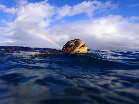 A green sea turtle is peaking its head above the ocean's surface while a rainbow appears in the sky over its head.