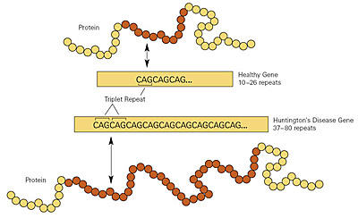 Graphic showing the excessive repetitions of the cytosine-adenine-guanine (CAG) nucleotide sequence in a gene from a Huntington's disease patient (bottom) compared to a gene from a person without the neurodegenerative disorder (top).