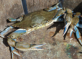 male Atlantic blue crab