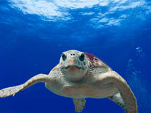 Loggerhead turtle (Caretta caretta) in the Gulf of Mexico's Flower Garden Banks National Marine Sanctuary