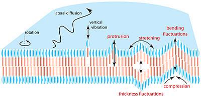 membrane dynamics illustration
