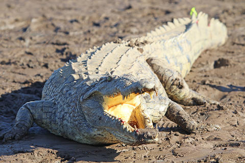 South African crocodile