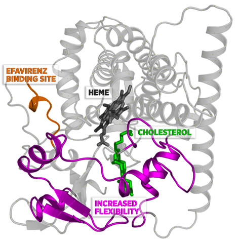 When efavirenz binds to CYP46A1 at the site shown, it increases the flexibility of the protein in the region around cholesterol.