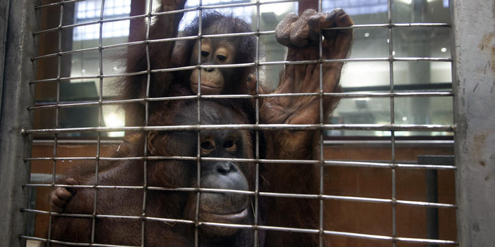 Two orangutans cling to a wire cage