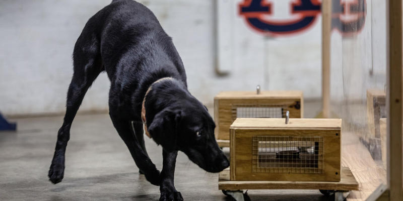 A black dog sniffs a wooden box.