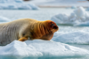 A large brown seal is in the snow. It has whiskers that look like a beard on a human male.